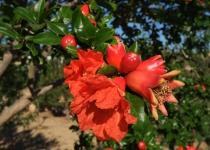 Knossos 3, granatepletreet i blomst