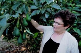 Avokadoplantasjen